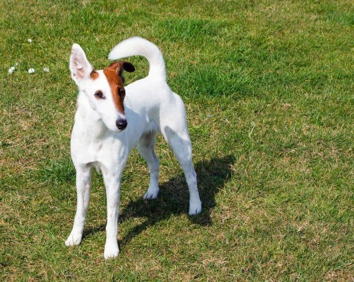 razas de perros pequeños fox terrier